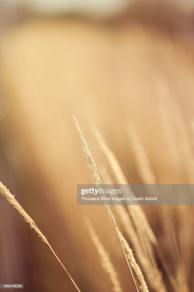 Golden Grain : Stockfoto