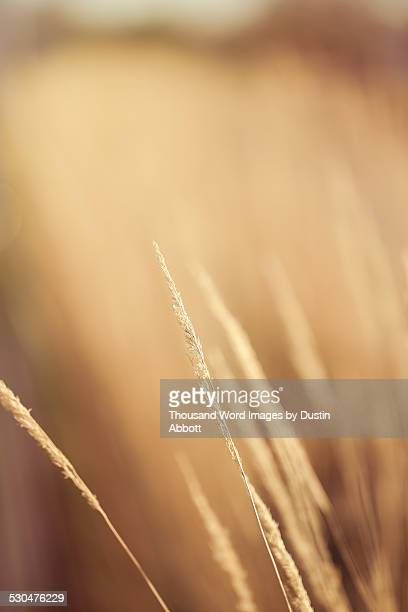 golden grain - dustin abbott - fotografias e filmes do acervo