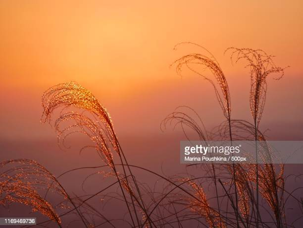 golden grass - fading stock pictures, royalty-free photos & images