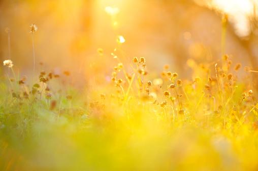 Golden grass - gettyimageskorea