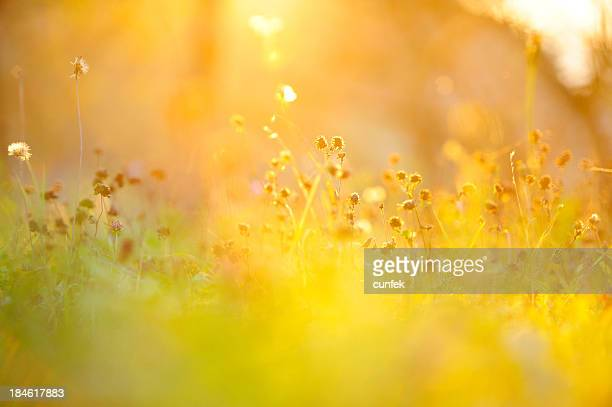 golden grass - brightly lit stock pictures, royalty-free photos & images