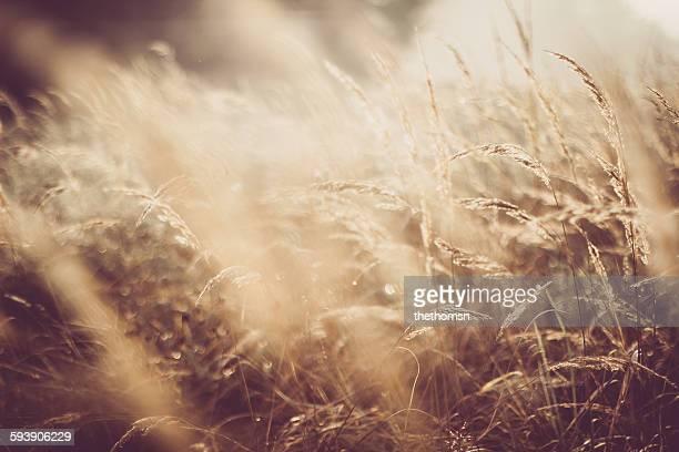 Golden grassland