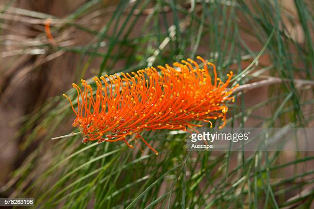 Golden grevillea Grevillea pteridifolia flower spike Mount Borradaile Awunbarna Arnhem Land Northern Territory Australia