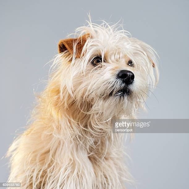 Golden hairy dog studio portrait