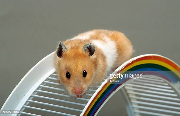 Golden hamster climbing on toy