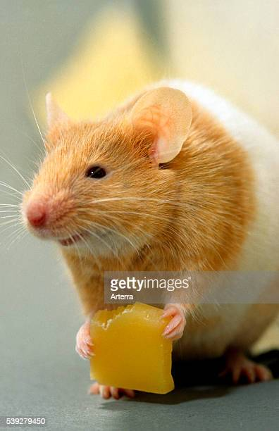 Golden hamster eating cheese