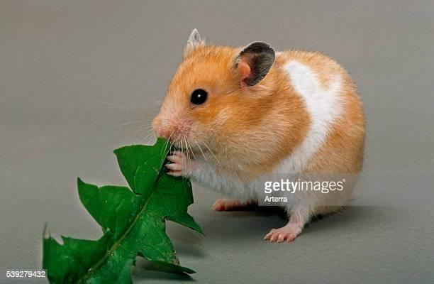 Golden Hamster eating green leaf