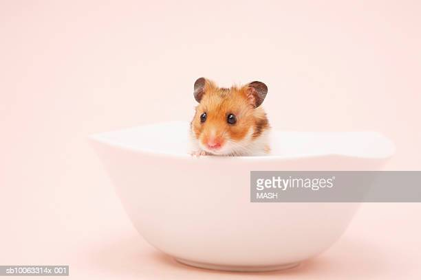 golden hamster (mesocricetus auratus) in bowl, studio shot - golden hamster stock pictures, royalty-free photos & images