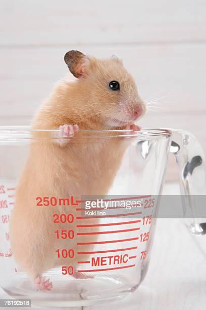 Golden hamster in measuring jug