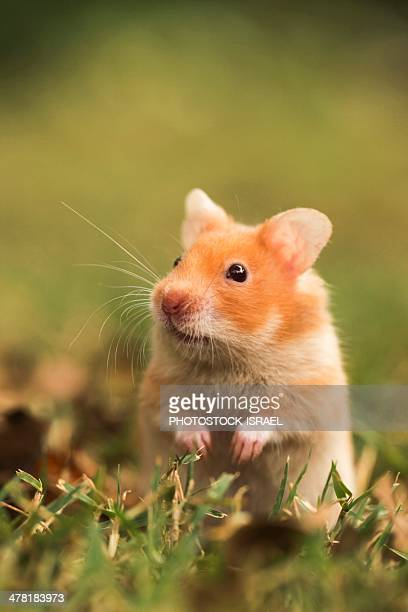 golden hamster - hamster stock pictures, royalty-free photos & images
