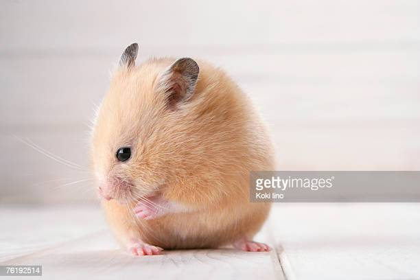 golden hamster - golden hamster stock pictures, royalty-free photos & images