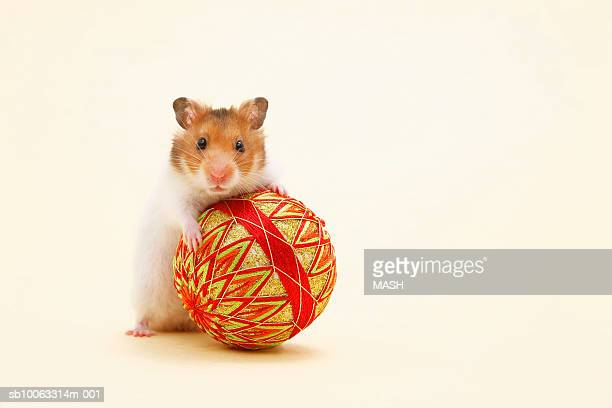 golden hamster (mesocricetus auratus) playing with ball, studio shot - golden hamster stock pictures, royalty-free photos & images