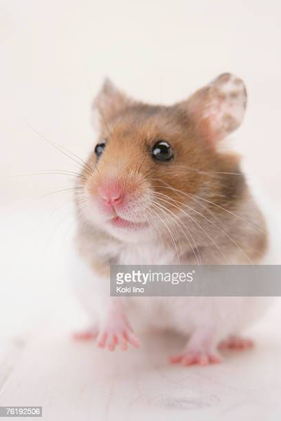 golden hamster standing - golden hamster stock pictures, royalty-free photos & images