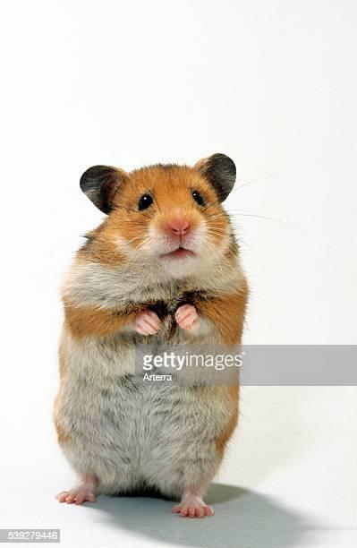 Golden hamster standing upright