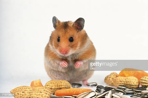 golden hamster surrounded by it's favorite food, front view - golden hamster stock pictures, royalty-free photos & images