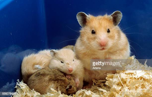 Golden Hamster with young in nest