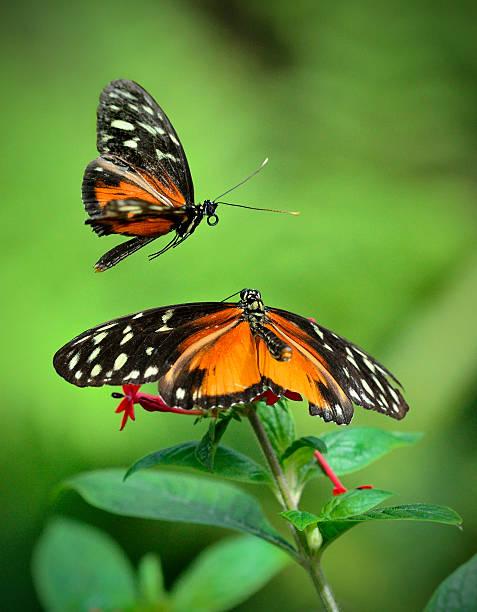 Golden Heliconius Butterflies in Mating Display