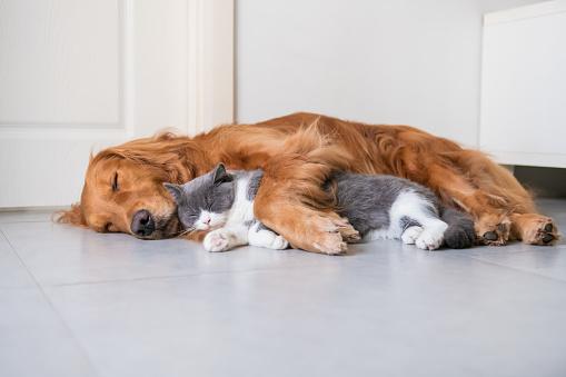 Golden Hound and British short-haired cat 1078098714