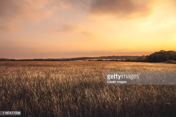 golden hour sunset over fields of wheat gloucestershire - golden hour stock pictures, royalty-free photos & images