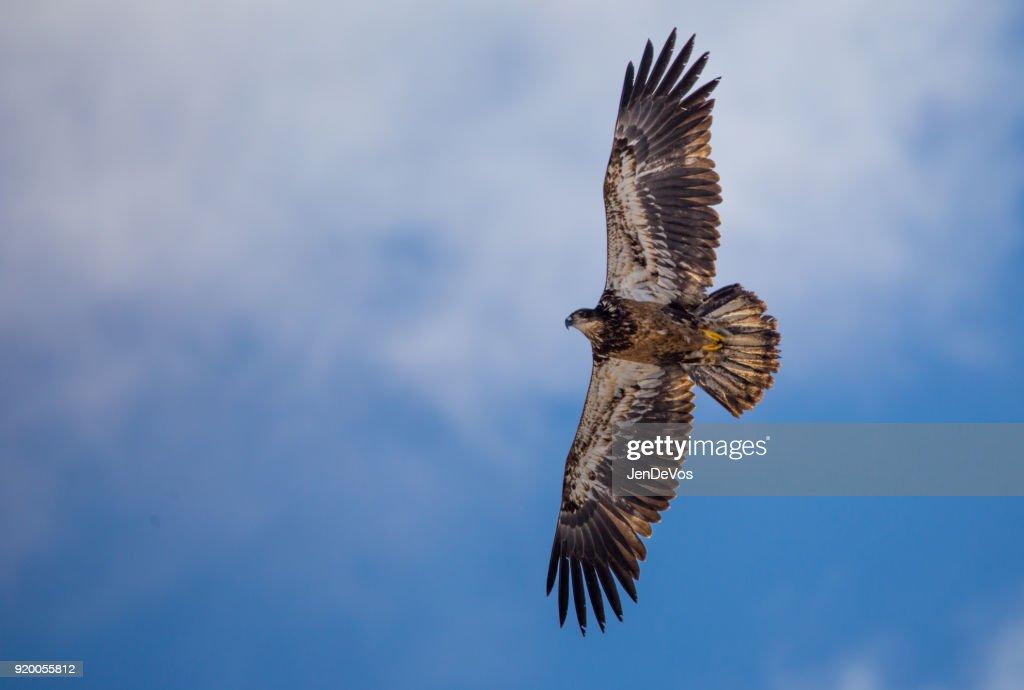 golden immature eagle : Stock Photo