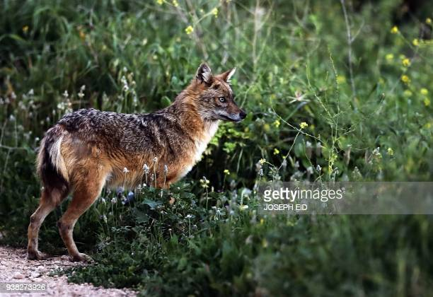 A Golden Jackal is seen in a field in the village of Kfifane north of Beirut on March 26 2018 Golden jackals strongly resemble wolves but they are...