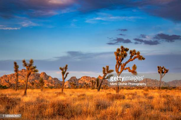 golden joshua trees near sunset - wilderness area stock pictures, royalty-free photos & images