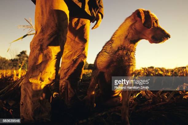 golden lab in field - maisie smith stock pictures, royalty-free photos & images