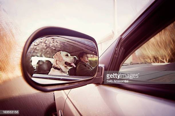 Golden Labrador dog in a car