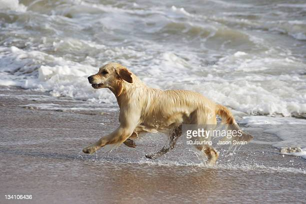 golden labrador - s0ulsurfing stock pictures, royalty-free photos & images
