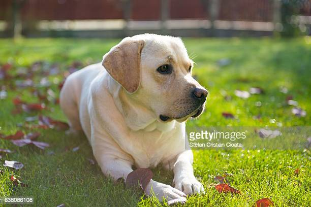 yellow labrador retriever ストックフォトと画像 getty images