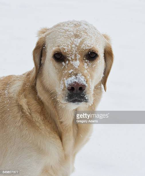 Golden Labrador With Her Face Covered in Snow