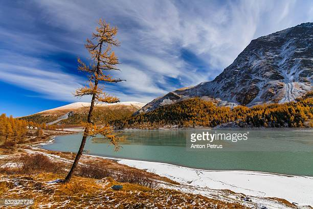 golden larch in the mountains in autumn. - summits russia 2015 stock pictures, royalty-free photos & images