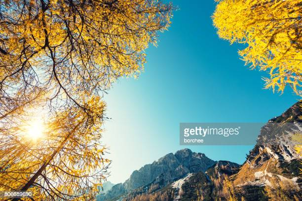 Golden Larch Trees In The Mountains