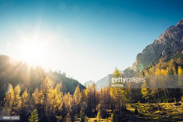 golden larch trees - sunny stock pictures, royalty-free photos & images
