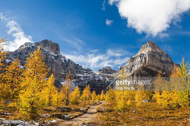 golden larches and mountains - larch tree stock pictures, royalty-free photos & images