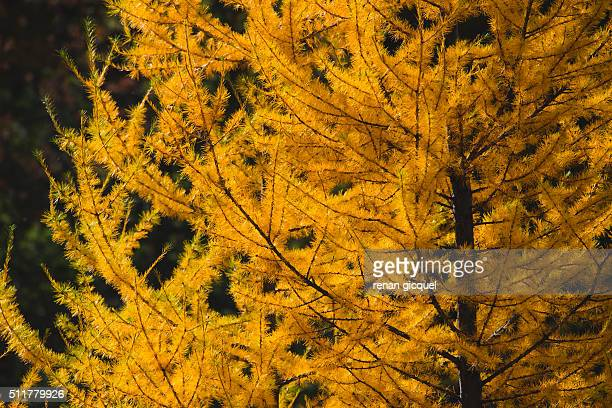 golden larchs #4 - larch tree stock pictures, royalty-free photos & images
