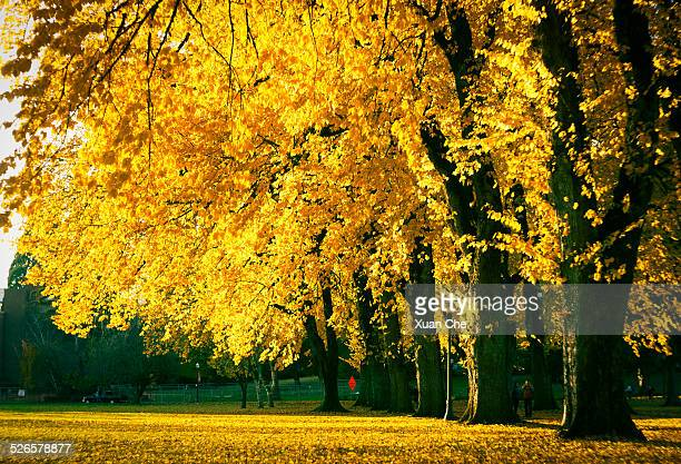 golden leaves of falls - corvallis stock pictures, royalty-free photos & images
