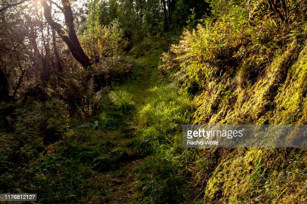 golden light on lush forest footpath - rachel wolfe stock pictures, royalty-free photos & images