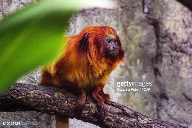 golden lion tamarin on branch - animales en cautiverio fotografías e imágenes de stock