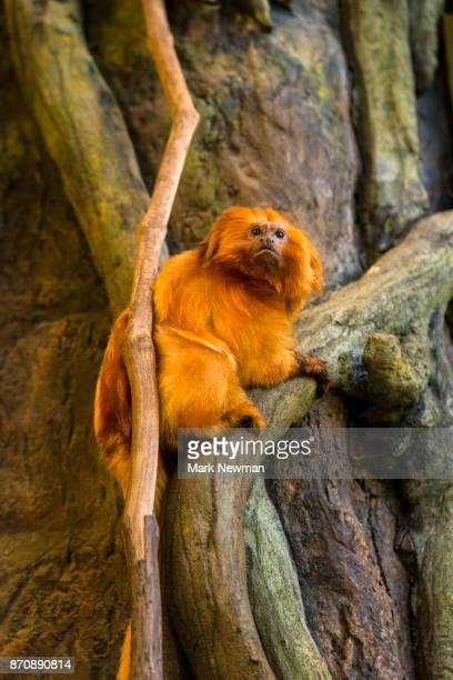 golden lion tamarin - ugly monkey stock photos and pictures