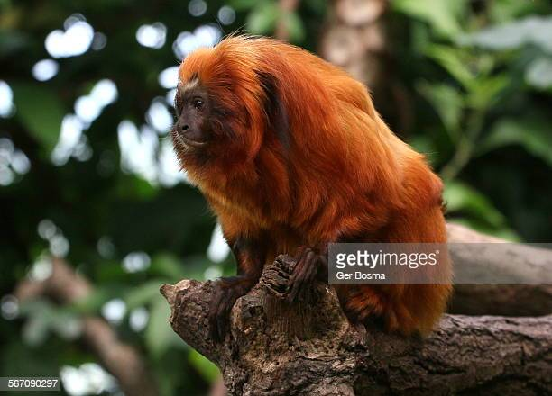 golden lion tamarin portrait - monkey paw stock photos and pictures