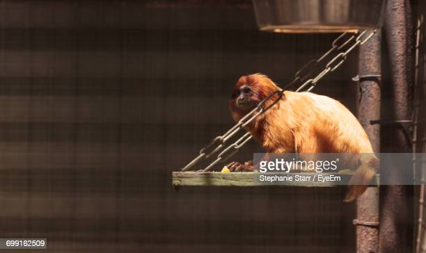 Golden Lion Tamarin Sitting In Cage At Zoo