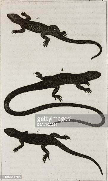 1 Golden Lizard 2 Temapara 3 Anole Lizard engraving by Giovanni Battista Torcellan from Le opere di Buffon by GeorgesLouis Leclerc de Buffon and...
