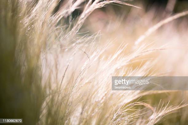 golden long grass. - long stem flowers stock pictures, royalty-free photos & images