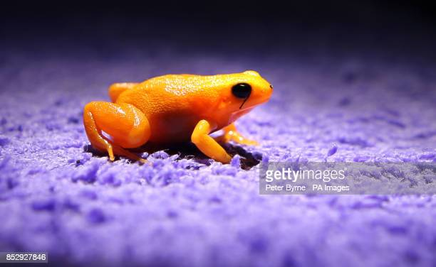 A golden mantella frog at Chester Zoo Chester is implanted with a fluorescent silicone gel on its leg which allows keepers to identify individuals in...