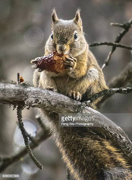 Golden Mantled Ground Squirrel Eating Pine Cone, Jasper National Park, Alberta, Canada