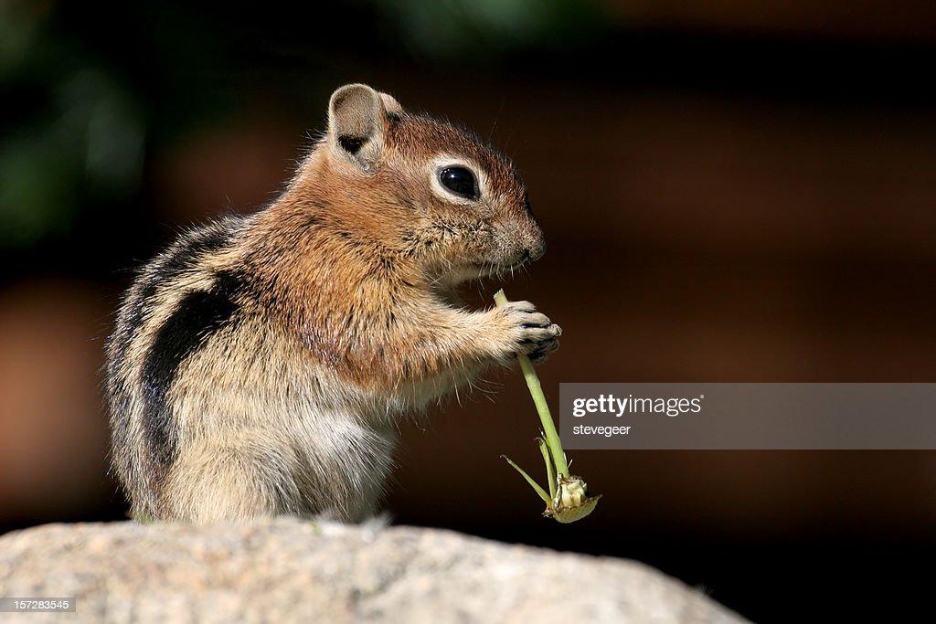 Golden Mantled Ground Squirrel : Stock Photo