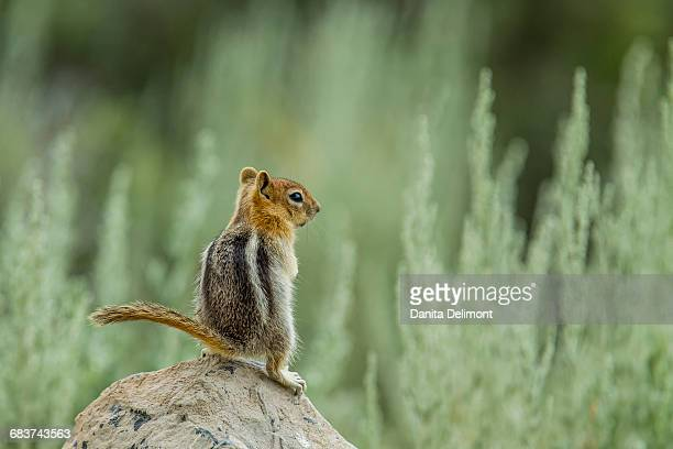 Golden Mantled Ground Squirrel (Callospermophilus lateralis) standing on rock, June Lake, California, USA