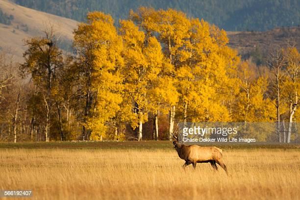 golden march - wapiti foto e immagini stock