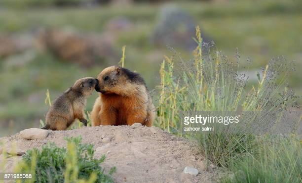 golden marmot - woodchuck stockfoto's en -beelden